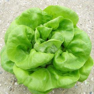Butter Crunch Lettuce--20 seeds