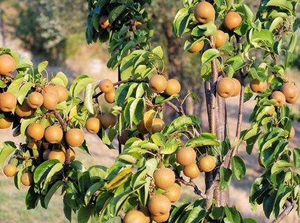 Asian Pear Seeds - 5+