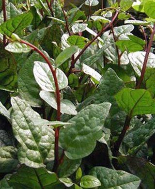 ~ Malabar ~ Red Vine Spinach, Basella rubra