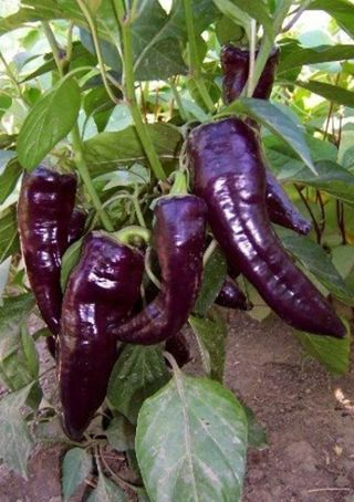 Bhut Jolokia purple Hot Pepper Seeds