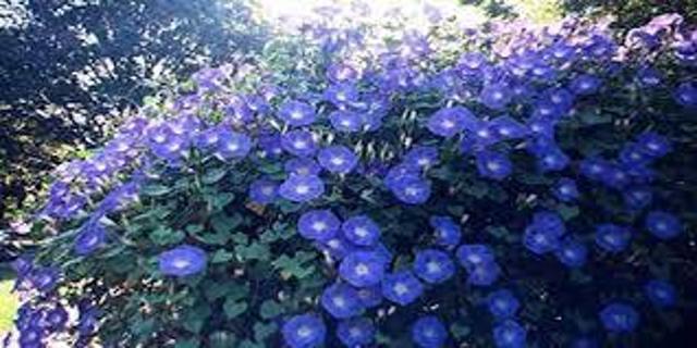 Morning Glory Heavenly Blue
