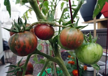 Black Vernissage tomato Great Flavor and lots of tomatoes