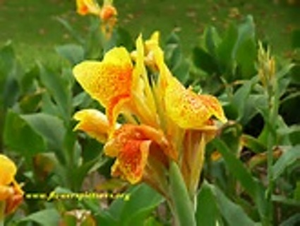 2 ORANGE/YELLOW CANNA LILY STARTER PLANTS