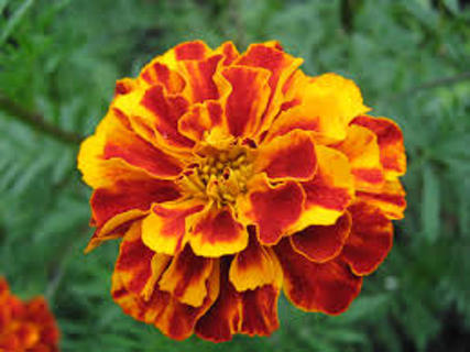 10 Marigold seeds various colors free shipping