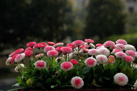 1000 seed/5 bags strawberry ice cream little Daisy Flower Seeds Bonsai plants Seeds