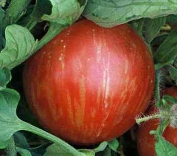 12 plus Mr. Stripey Tomato seed (heirloom)