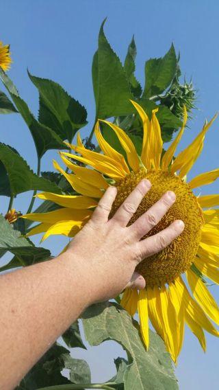 50 mammoth sunflower seeds