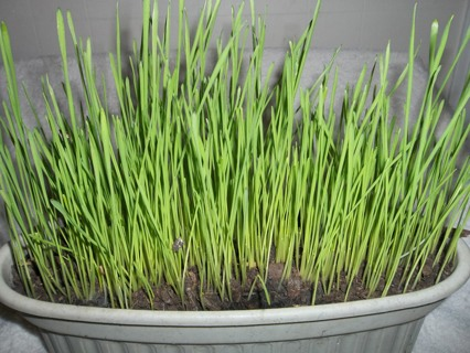 50+ Organic Wheat Grass Seeds