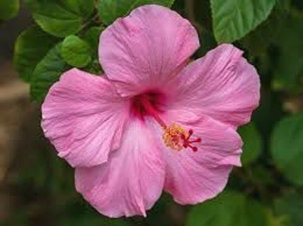 Light pink hibiscus seeds