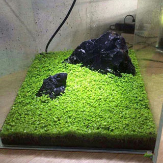 [GIN FOR FREE SHIPPING] Aquarium Landscape Ornament Aquatic Water Grass Live Plant Seed