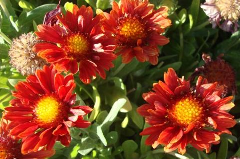 Red Gaillardia flower seeds.