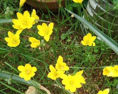 Yellow Rain Lily bulbs