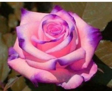 """This rose is a """"10"""" too"""