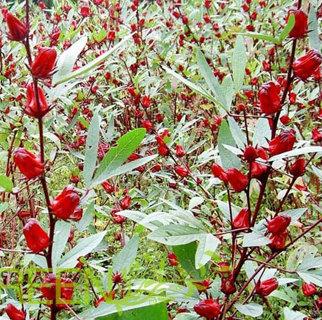 Jamaican Sorrel seeds#20