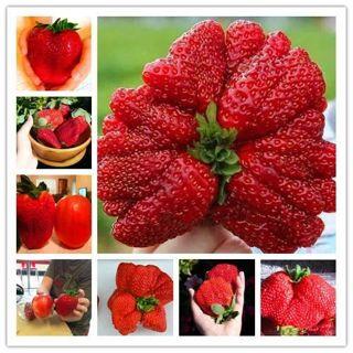 Giant Japan Strawberry bonsais, 200Pcs Giant Red Strawberry Organic bonsais Garden