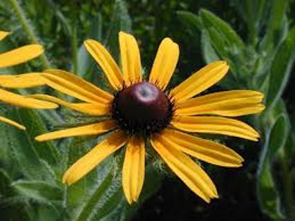 Black Eyed Susans, plenty of organic seeds, auction #5