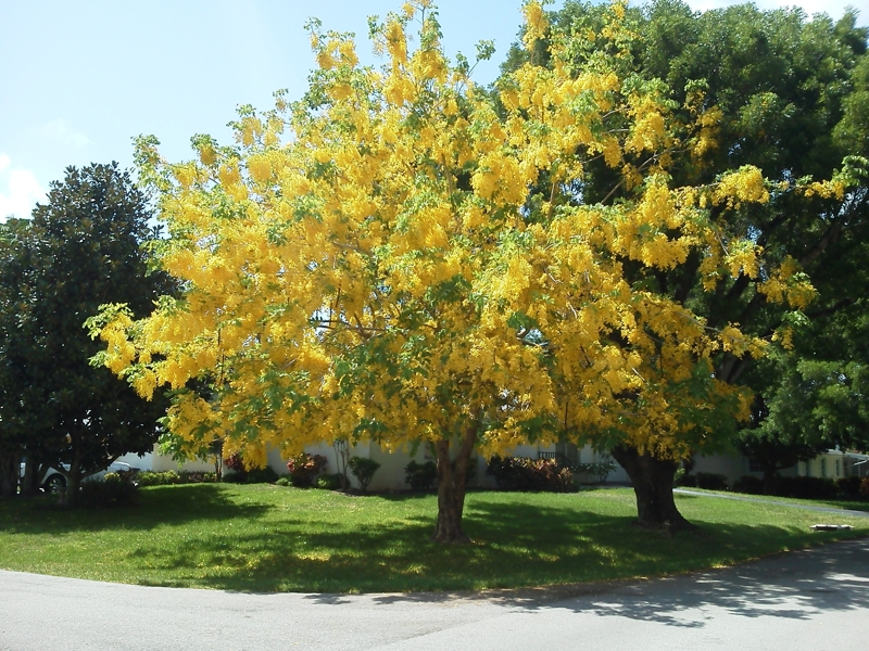 Free 5 Golden Rain Tree Seeds Yellow Flowers Red Seed
