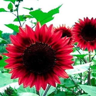 40Pcs New Sunflower Seed red Fortune Flower Seeds Garden Yard Plant Decor