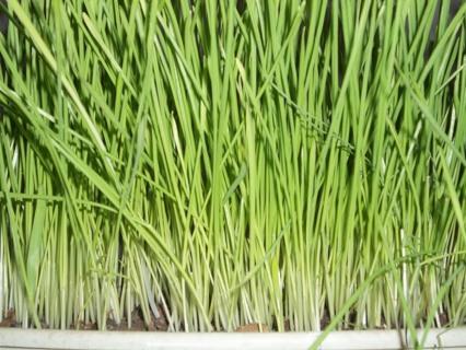50+ Organic Wheat Grass Seeds