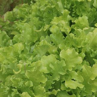 Salad Bowl Lettuce--20