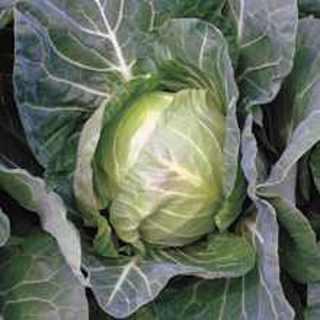 25 plus Copenhagen Market Cabbage seed