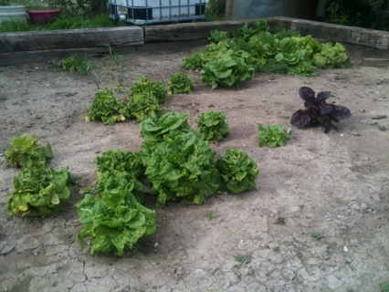 lettuce mix (60+ seeds) organically grown