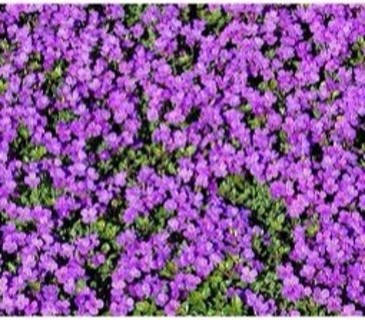 25 plus Aubrieta Cascade Purple seed....