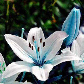 50pcs Blue Rare Lily Bulbs Seeds Planting Flower Lilium Perfume Garden Decor