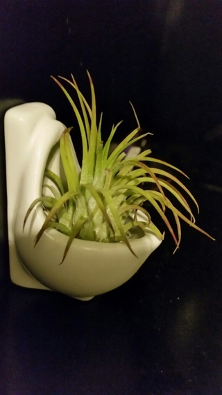 Air Plant In Urinal.  Really.  It's an Air Plant and it's in a Urinal.